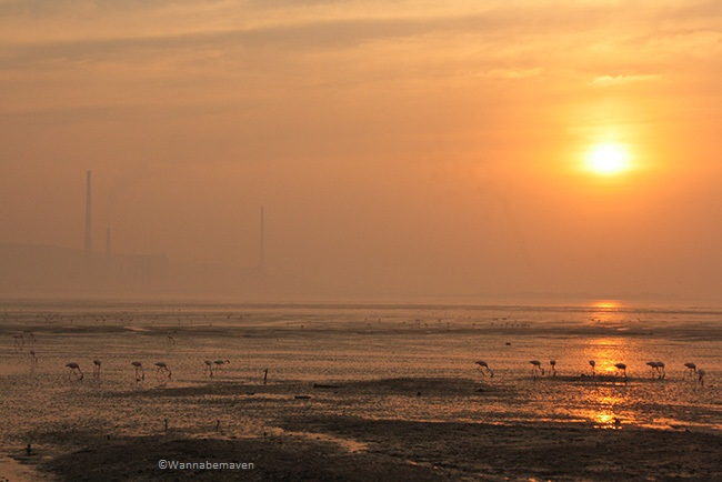Sewri jetty flamingos - Sunrise view