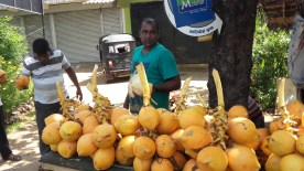 king coconuts. a cheap yet a nutritious drink