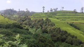 Tea estates in Nuwara Eliya