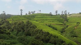 tea-estates-nuwara-eliya11