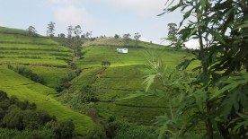 tea-estates-nuwara-eliya3