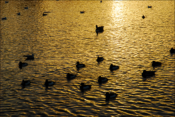 """© Geoff Wilkinson, who writes on his Wanstead Daily Photo blog: """"Another picture I took of Snaresbrook Pond at the end of the day.  The rippling effect with the sun shining across the lake has a really lovely warm glow. A very apt picture I thought for Christmas Eve."""""""