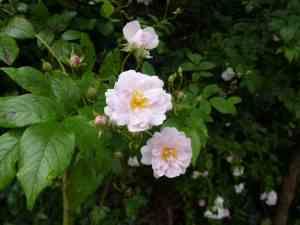 Musk Roses 3