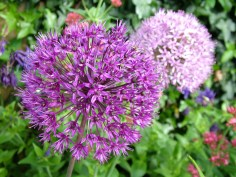 Alliums would look great in this plan.