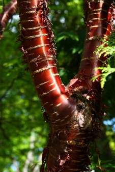 Prunus serrula bark