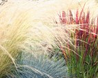 Mexican Feather Grass, Japanese Blood Grass & Blue Fescue