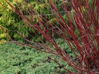 Cornus alba 'Bloodgood'