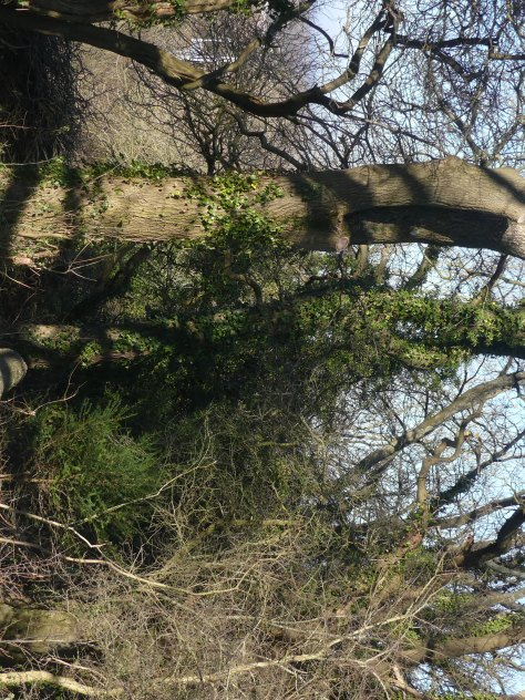 """This ash tree was affected by Ash Dieback Disease. It has recently been """"monolithed"""" to a height of 6 metres (20 feet). Many major trees round the woodland paths will look like this."""