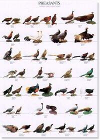 Pheasants Poster #2
