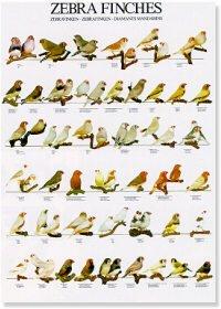 Zebra Finches Poster