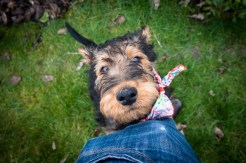 Airedale puppy in the garden. Photographed by Anna Hindocha/Warm Glow Photo.