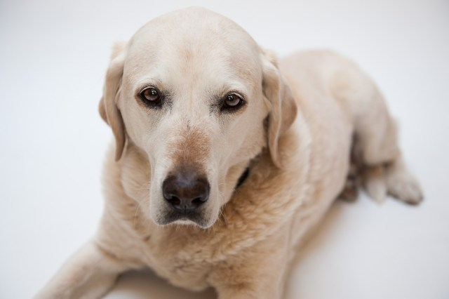 Studio portrait of a Golden Labrador photographed by Anna Hindocha/Warm Glow Photo