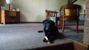 Chloe with a new bone!