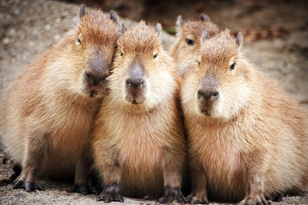 as-pet-capibara