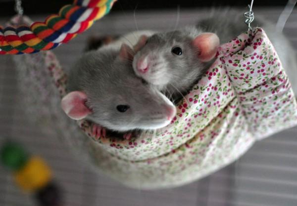 cuttie-rats10