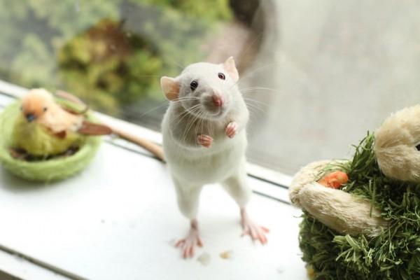 cuttie-rats11