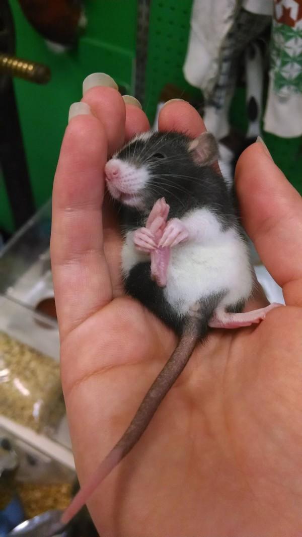 cuttie-rats14