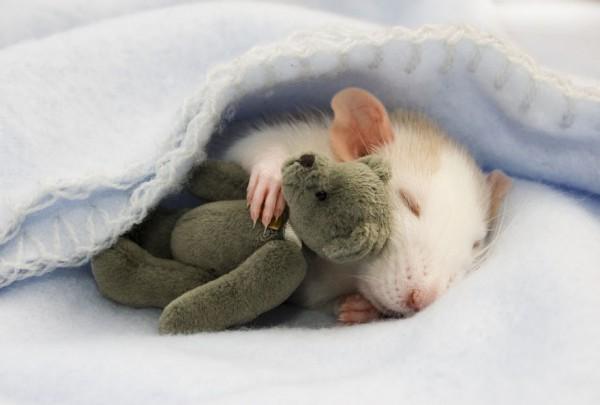 cuttie-rats4