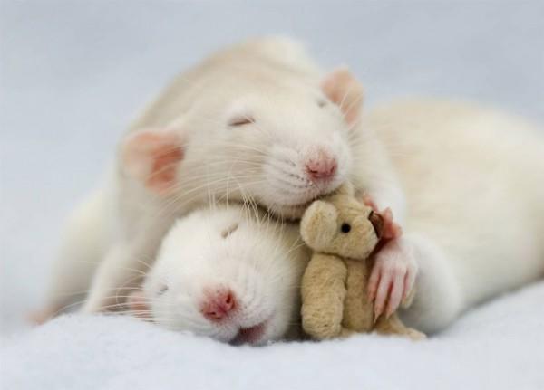 cuttie-rats7
