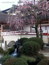 The last of the plum blossoms on the grounds of Dazaifu Tenmangū (March 2013)