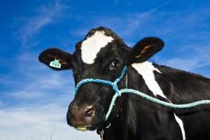 A holstein dairy cow grazes in a field on Coldstream Farm.