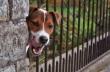 glastonbury-terrier-jackrussel-1520532-tn
