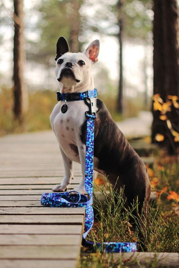 niebieska smycz psa regulowana nowoczesna modna