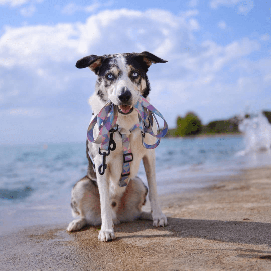 pies w chorwacji w szelkach candy blue