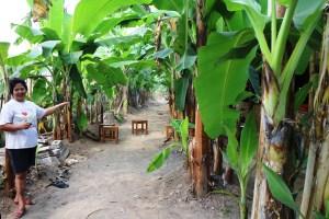 Kebun pisang raja