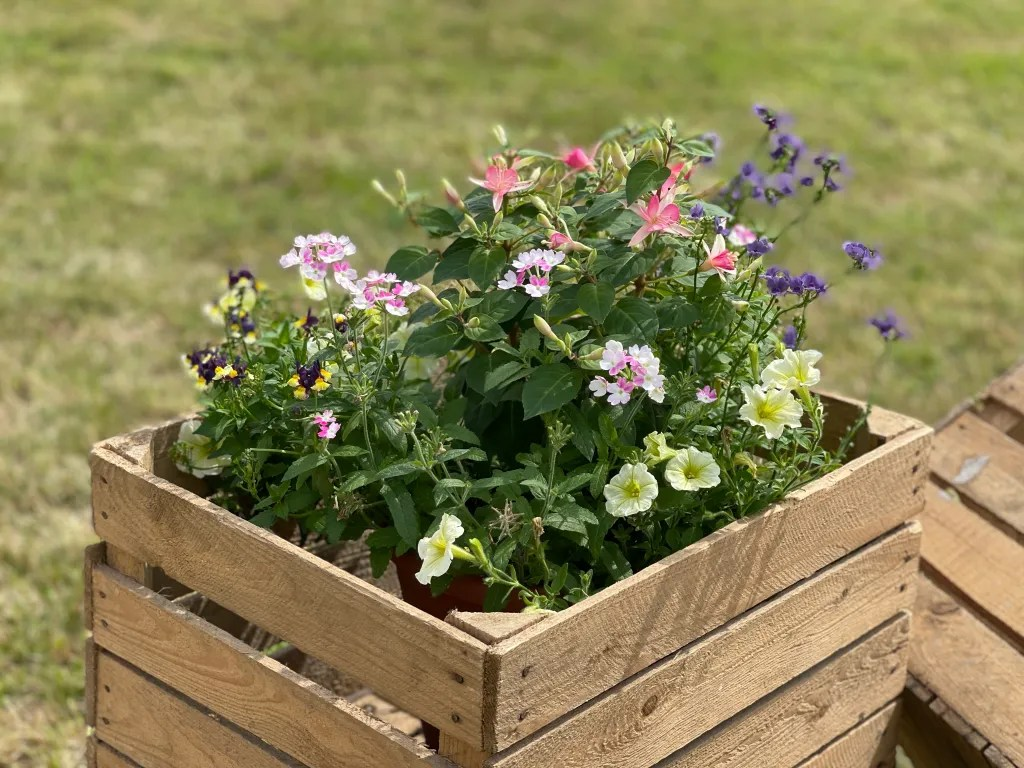 Colourful flowering plants in rustic apple crates