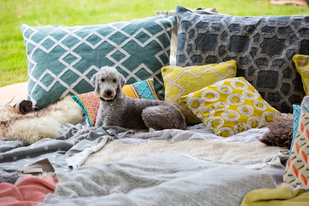 Grey Bedlington dog relaxing on cushions and blankets