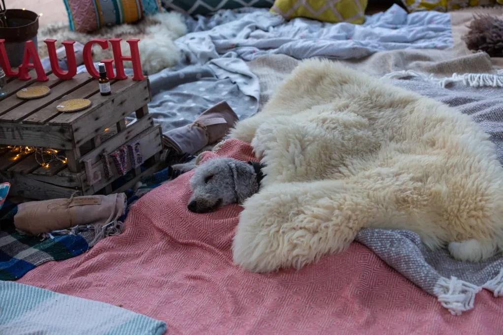 Dog sleeping under sheepskin run on blankets