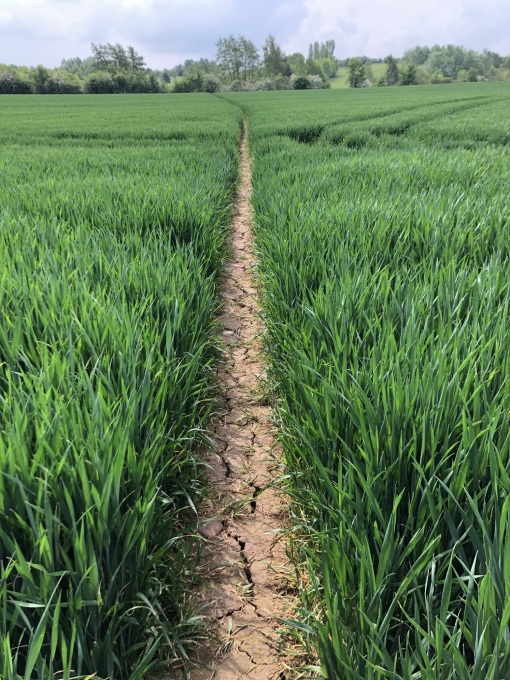 path through crop field growing either side
