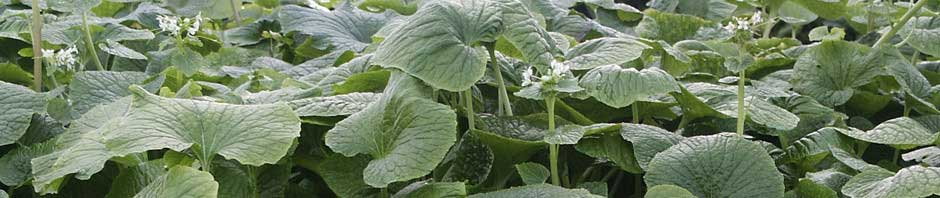 Demand for Wasabi growing daily. Become a grower now using World Wasabi Technology.