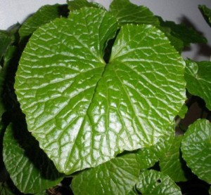 Healthy Wasabi Leaf. You can get these results with the information available at the Wasabi Growing Training Club