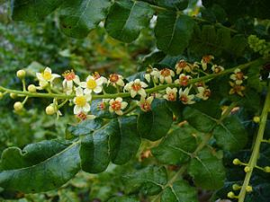 Frankincense resin kills late stage Ovarian Cancer