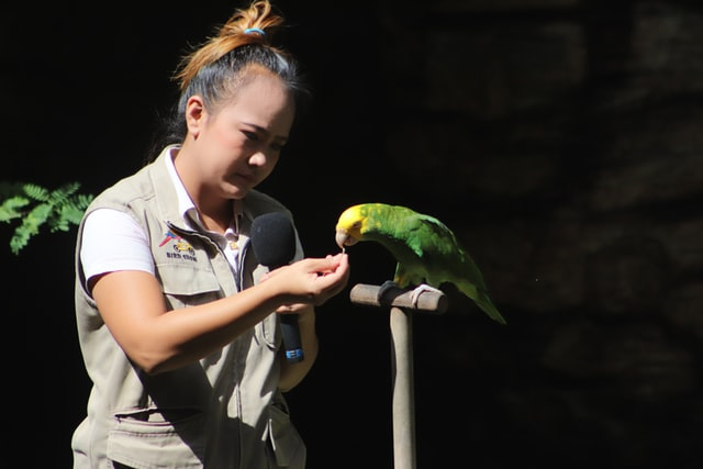 animal caregiver giving a treat to an Amazon parrot