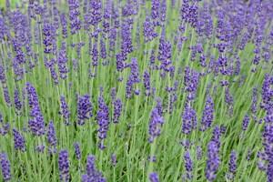 lavender-813758_1280