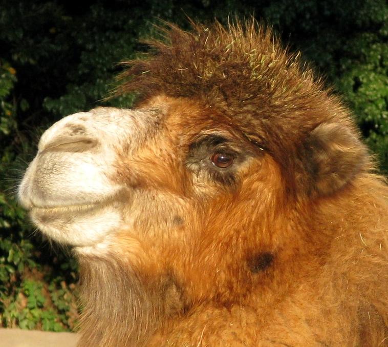_camel