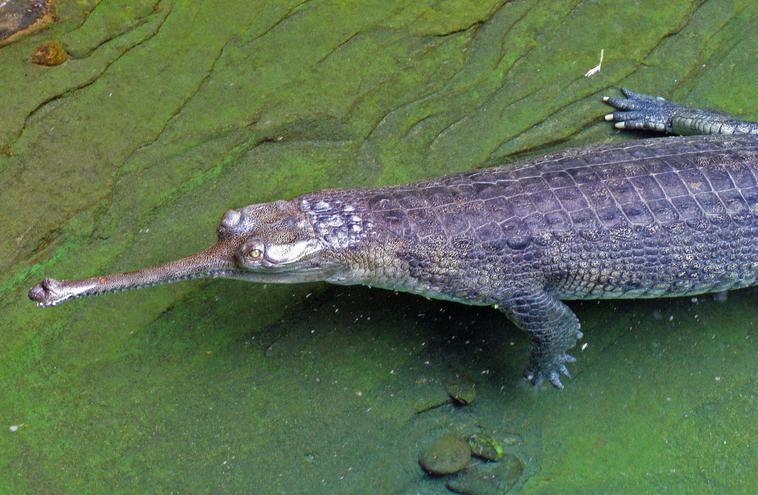 _gharial