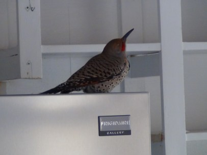 Woodpecker hanging out on the fridge