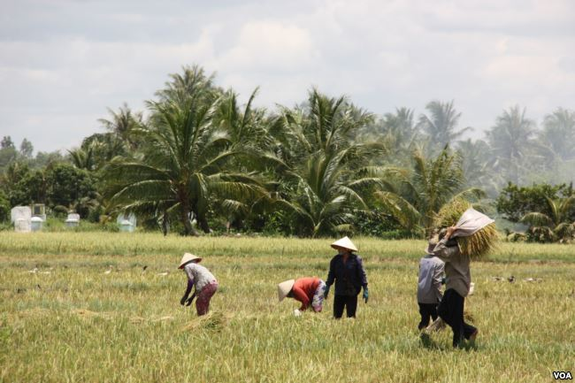Vietnam rice industry faces threat from climate change, Mekong dams paddy field