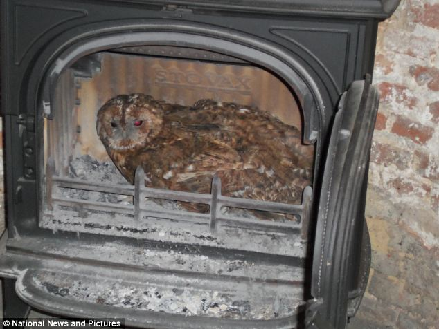 Tawny Owl in a wood-burning stove burner fireplace chimney flue owls