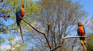 Panduan Cara Ternak Burung Lovebird1