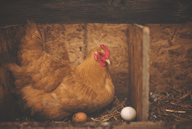 Panduan Umum Beternak Ayam Potong