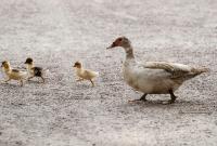 Panduan Umum Ternak Bebek