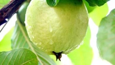 Photo of د ښایسته او جاذب نظر پوستکي لپاره امرود وخوری