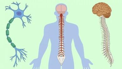 Photo of عصبي سيستم (Nervous System)