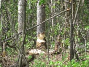 Poplar tree, a beaver's work-in-progress