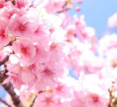 年中着られる桜の模様